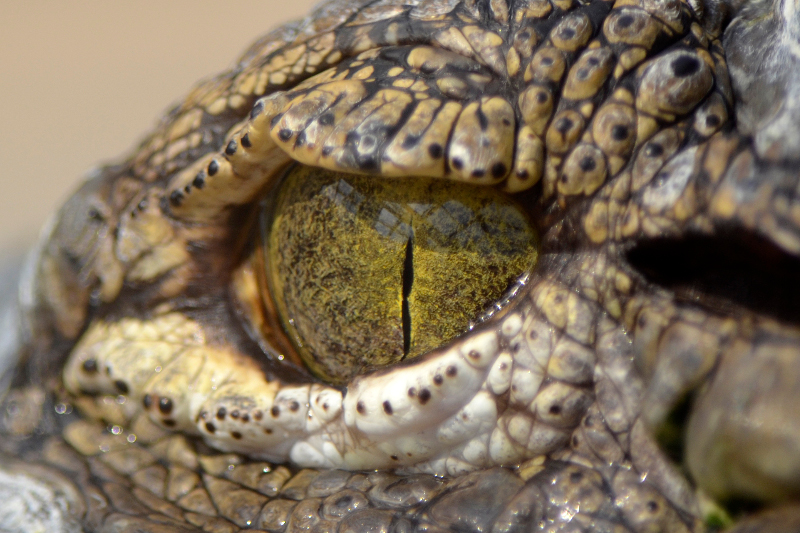 A_crocodiles_eye_sm.jpg